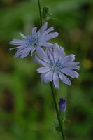 chicory<br>Mount Vernon, Sotwell, Wallingford, England