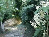 clematis<br>Agios Georgios, Pilion, Griekenland