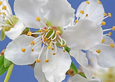 Bachbloesem Cherry Plum