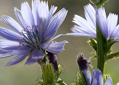 Bachbloesem Chicory