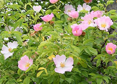 Bachbloesem Wild Rose