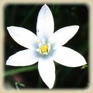 Bachbloesem Star of Bethlehem